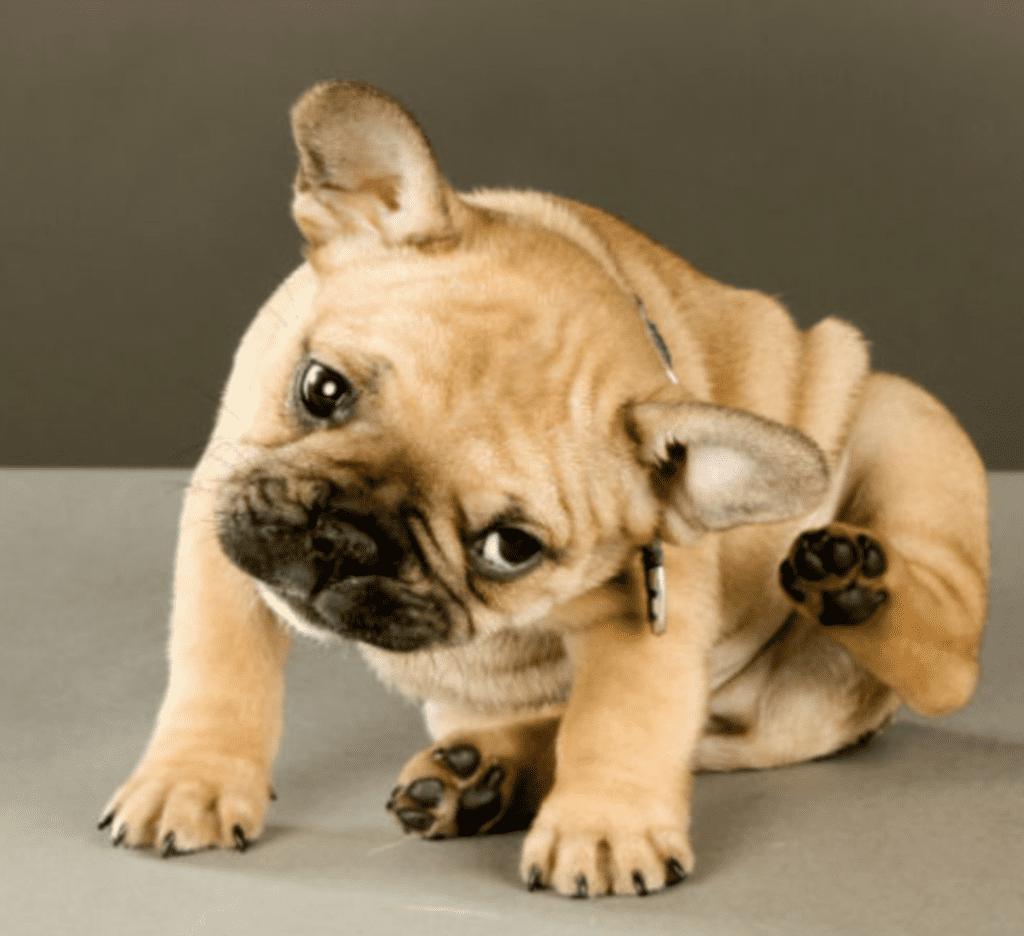 A pug sitting