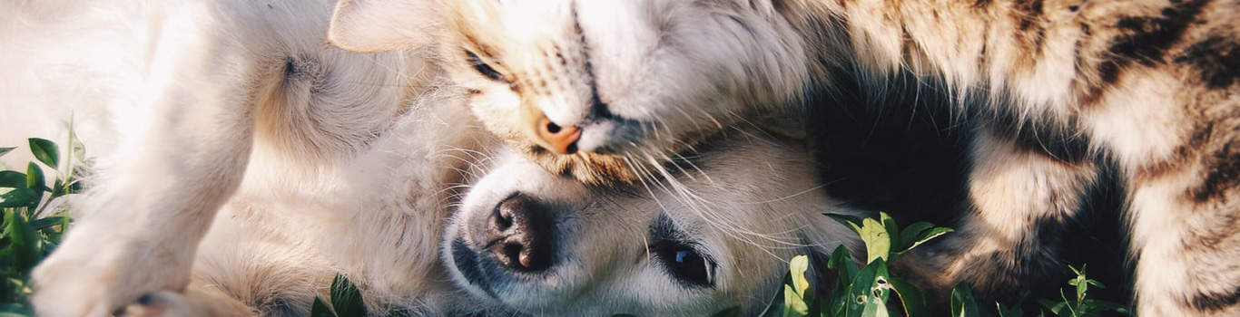 A cat lying on a dog's face